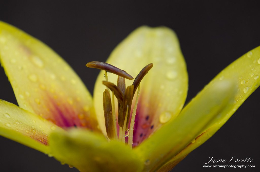 Yellow Lily - Summer 2013