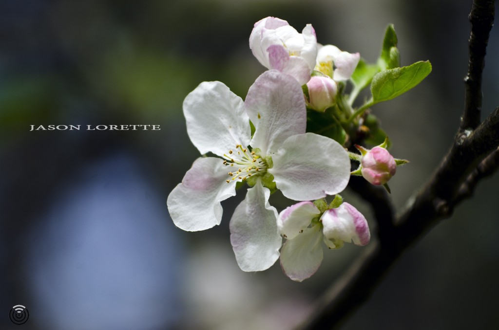 Apple Blossoms - Spring 2014 - Moncton, N.B. - Canada